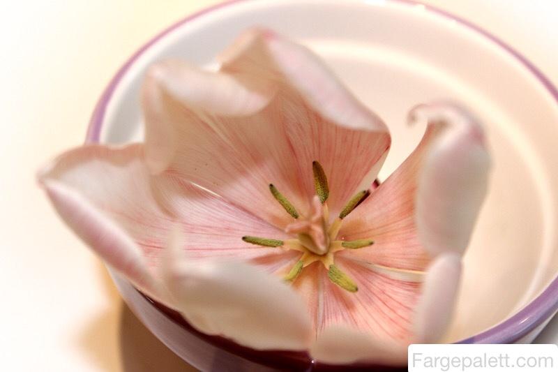 Forske, eksperiment, barn, blekk, konditorfarge, blomster, eksperimentere, farging, vannårer, konditorfarge, maling, nellik, tulipaner, tulipan, vann, vannbasert, vannets kretsløp